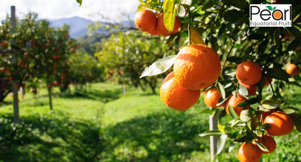 Food: Pearl Equatorial Fruits